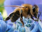 westliche Honigbiene | Quelle: Ricks / wikipedia.org